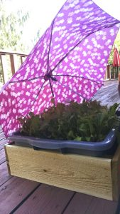 lettuce under an umbrella