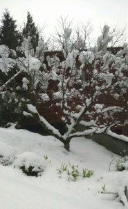snowy maple tree
