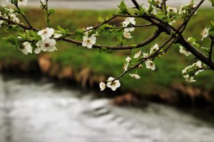 cherry blossoms along river