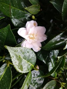 camellia in full bloom