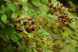 blackberries and vines