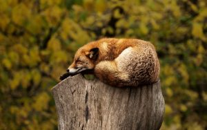 sleeping fox